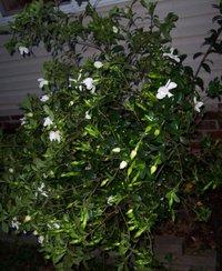 Gardenia6706