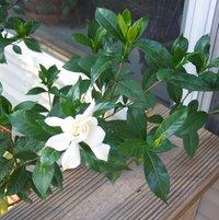 Gardenia112007